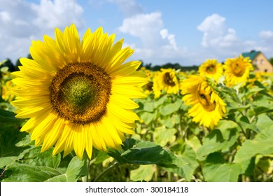 Field of sunflowers and blue sky with clouds / sunflowers