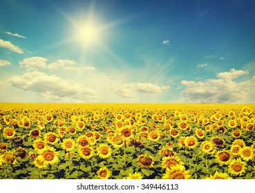field of sunflowers and blue sun sky