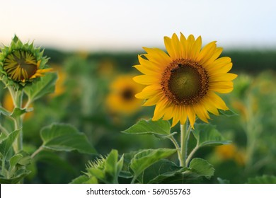 Field of sunflowers . Close up of sunflower against a field in Thailand.