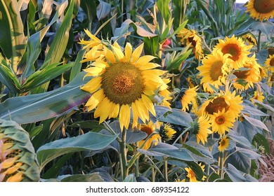 Field of sunflowers.And Close up of sunflower at sunset.Nature background.
