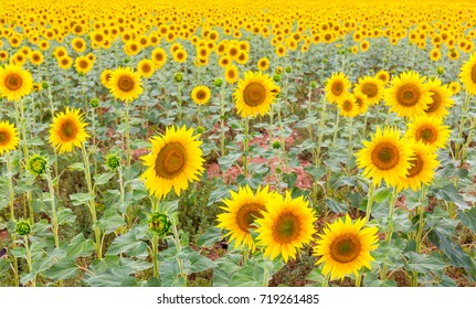 Field of sunflowers in Cuenca, Spain