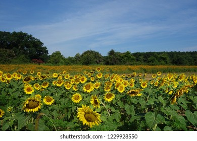 Field of sunflowers in Dix Park, near downtown Raleigh, NC