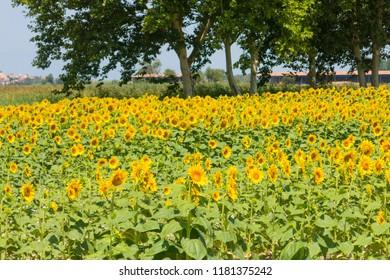 Field of sunflowers in the Emporda, Catalunya, Costa Brava, Spain