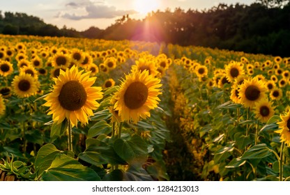Field of sunflowers. Sunflowers flowers. Landscape from a sunflower farm. A field of sunflowers high in the mountain. Produce environmentally friendly, natural sunflower oil. Lots of sunflowers.