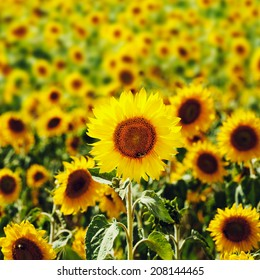 Field of sunflowers with focus on front sunflower