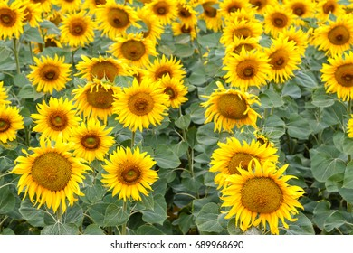 Field of sunflowers. Helianthus annuus.