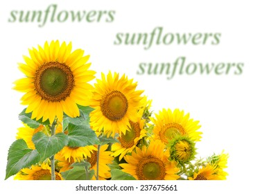 Field with sunflowers. isolation