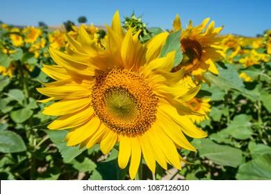 Field of sunflowers, La Rioja, Spain