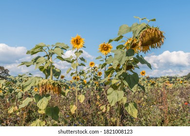 A field of sunflowers in late summer with many insects, Germany