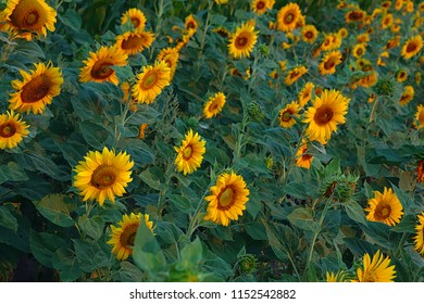 Field of sunflowers in the morning light