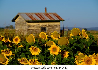 Field of sunflowers with old building / shed in the background