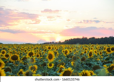 Field of sunflowers on the background of sunset sky