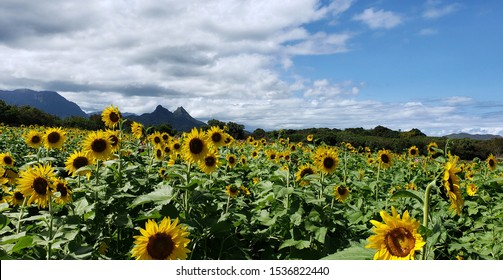 A field of sunflowers on Oahu, with tall mountains behind.