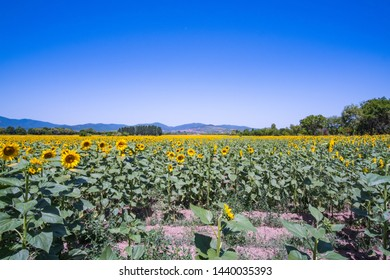 A field of sunflowers on a sunny day