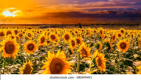 Field of sunflowers on the sunset