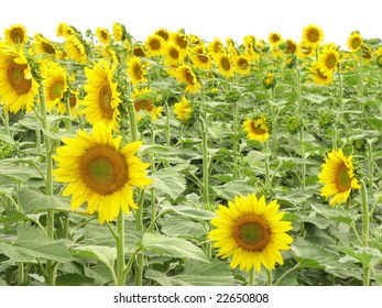 Field of Sunflowers. Province of Santa Fe, Argentina