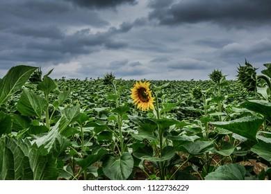 Field of sunflowers in Slavonia, Croatia