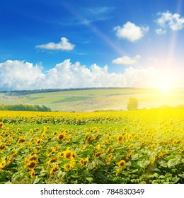 Field of sunflowers and sun rise. Bright beautiful agricultural landscape.