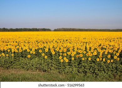 field of sunflowers in the sun, summer landscape