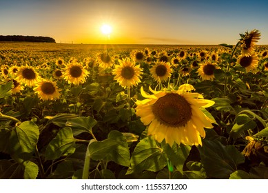 Field of sunflowers at sunset. Russian fields. Russian landscape. Ryazan region.