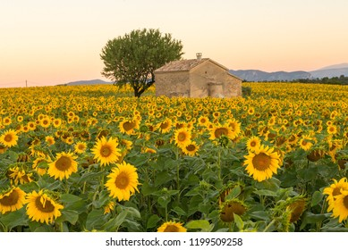 A field of sunflowers surround an old building in Provence, France