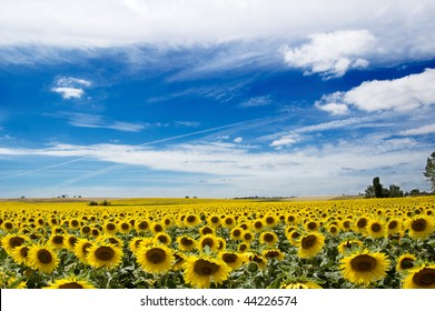 field of sunflowers under blue sky, south of France
