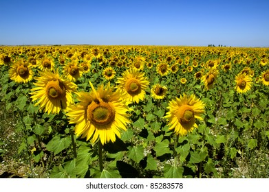 field of sunflowers under blue sky, Spain
