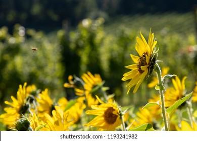 field of sunflowers in a vineyard in southern styria,area named suedsteirische weinstrasse in austria