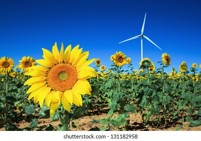 Field of Sunflowers with a windmill in the background