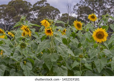 Field of sunflowers at Yarramalong Turf Supplies in Wyong Creek on the Central Coast of NSW, Australia.