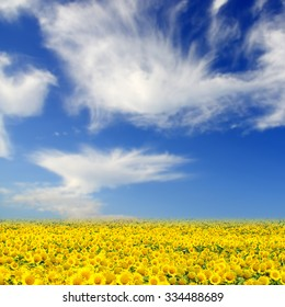 Field of sunflowers. Yellow sunflowers over blue sky