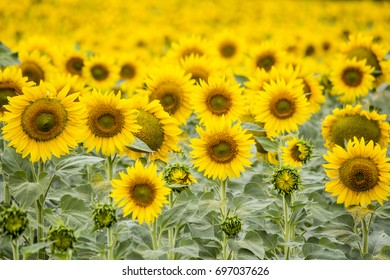 Field with sunflowers. Young sunflowers