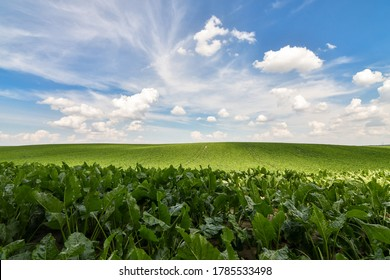 Field of sweet sugar beet growing with blue sky background