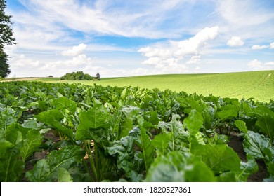 Field of sweet sugar beet growing with blue sky background. Selective focus.