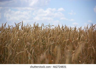 Field of tall grain growing on farmland