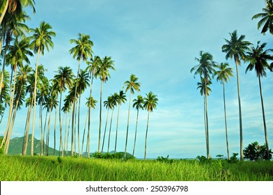 Field of tall grass surrounded by coconut trees in at Maiga Island, Semporna, Sabah during an early evening.