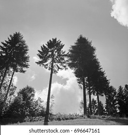 Field with tall trees