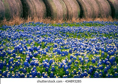 A field of Texas Bluebonnets in front of a row of hay bales in the Trail of Texas Bluebonnets. Brenham, Washington County, Texas.