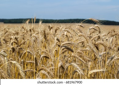 Field triticale. Harvest