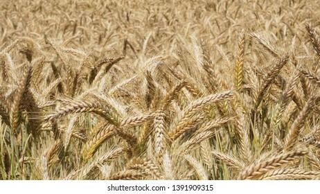 A field of Triticale, a hybrid of wheat and rye and a high-fiber, high-protein grain, on a hot summer day ready to be harvested as whole crop silage for a dairy farmer to feed his cows