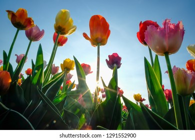 Field of tulips with blue sky on a sunny day in spring