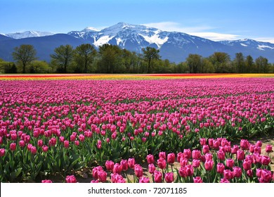 Field of tulips in British Columbia, Canada.