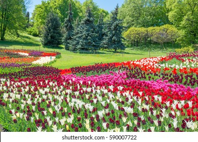 Field of tulips with many colorful flowers in the green park