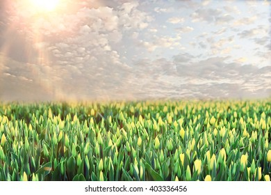 field of tulips sunset clouds landscape