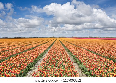 A field of tulips with wind turbines in the background. North Holland The Netherlands Europe