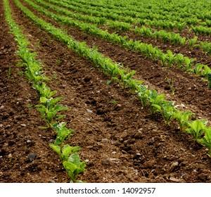 Field of turnips beginning to grow