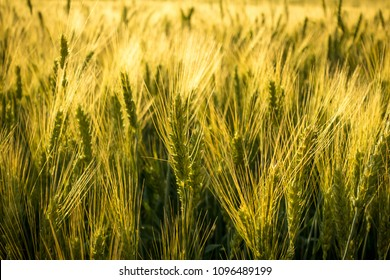 field with unripe wheat at sunset, wheat spikes closeup