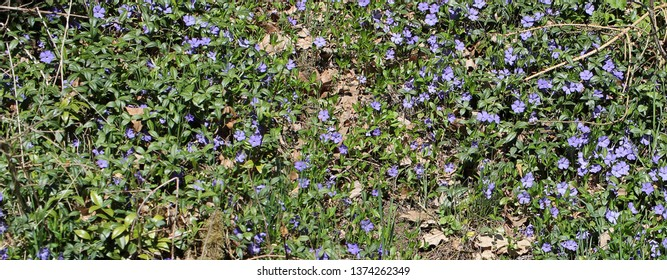 field of vinca minor, lesser periwinkle