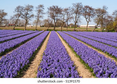 Field of violet flowers - Hyacint. Dutch flower industry. The Netherlands