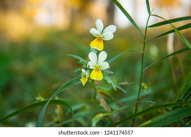 Field violets. Small white flowers and grass in the forest on a blurred background. Small wild pansy (Viola arvensis).